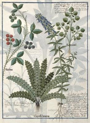 Ms Fr. Fv VI #1 fol.158v Ferns, Brambles and Flowers, Illustration from the 'Book of Simple Medicines' by Mattheaus Platearius