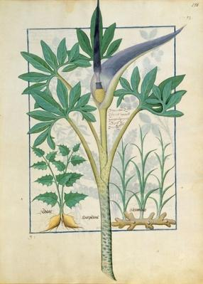 Ms Fr. Fv VI #1 fol.158r Orchid, illustration from the 'Book of Simple Medicines' by Mattheaus Platearius