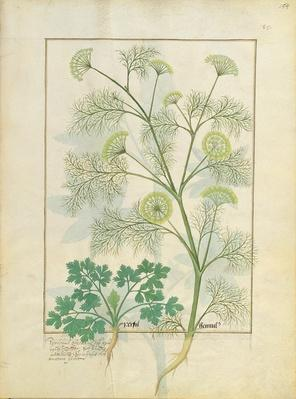 Ms Fr. Fv VI #1 fol.154r Parsley and Fennel, Illustration from the 'Book of Simple Medicines' by Mattheaus Platearius
