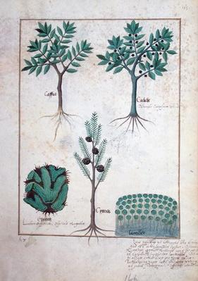 Ms Fr. Fv VI #1 fol.169r Illustration from the 'Book of Simple Medicines' by Mattheaus Platearius