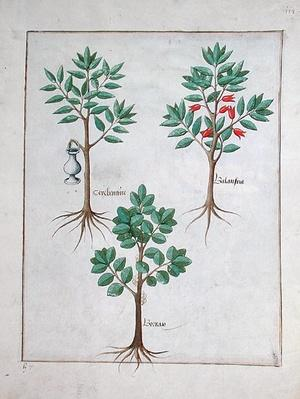 Ms Fr. Fv VI #1 fol.168r Illustration from the 'Book of Simple Medicines' by Mattheaus Platearius