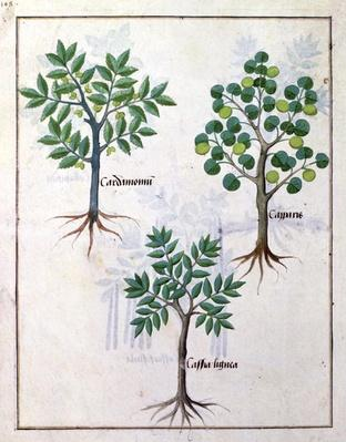 Ms Fr. Fv VI #1 fol.165v Illustration from the 'Book of Simple Medicines' by Mattheaus Platearius