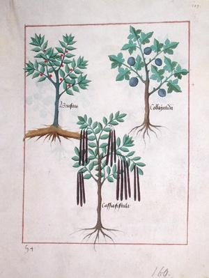 Ms Fr. Fv VI #1 fol.165r Illustration from the 'Book of Simple Medicines' by Mattheaus Platearius