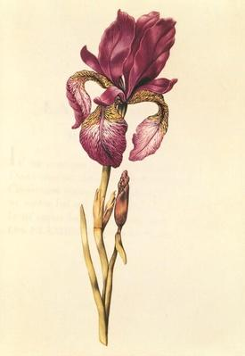 Iris, from 'La Guirlande de Julie', c.1642