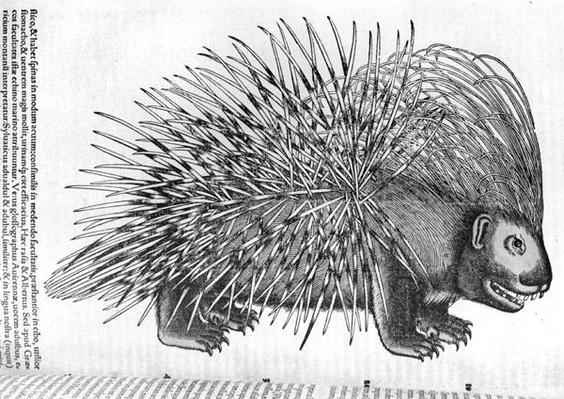 Porcupine, from 'Historia Animalium' by Conrad Gesner