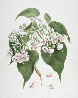 Walkuffa No.5 Dombeya torrida