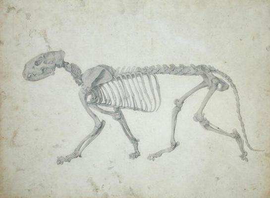 Lateral View of a Tiger Skeleton