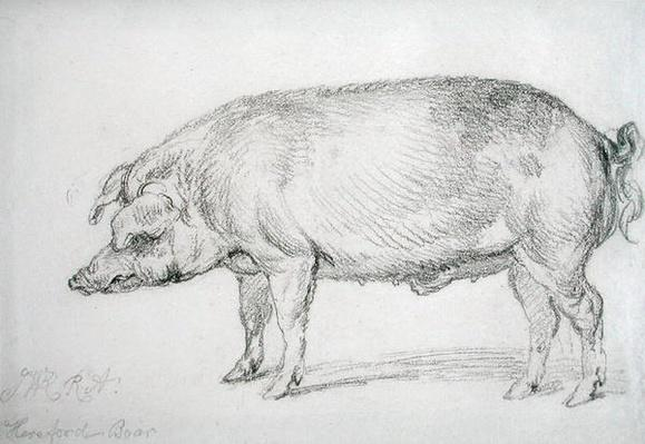 Hereford Boar, c.1803-04