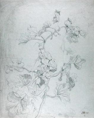 Study of a Climbing Plant