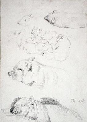 Studies of Pigs