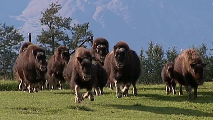 Musk Oxen | America's Heartland