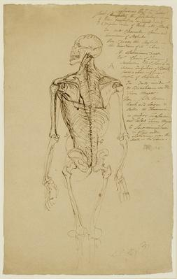 Drawing of a Man's Skeleton