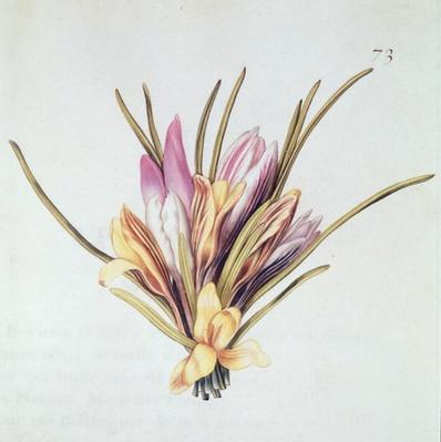 Saffron or Crocus, from 'La Guirlande de Julie', c.1642