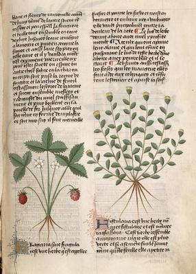 Ms Est 28 M 5.9 fol.75r Strawberry Plant, from 'Grand Herbier' by Pedanius Dioscorides