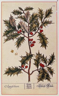 Holly from 'A Curious Herbal', 1782