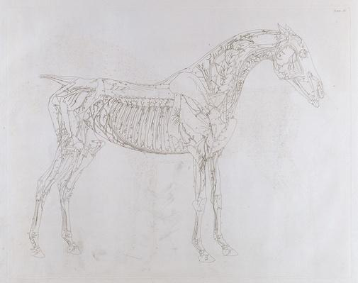 Illustration from 'The Anatomy of the Horse