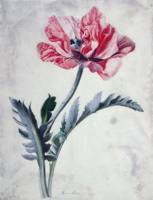 Flower Pieces, Oriental Poppy