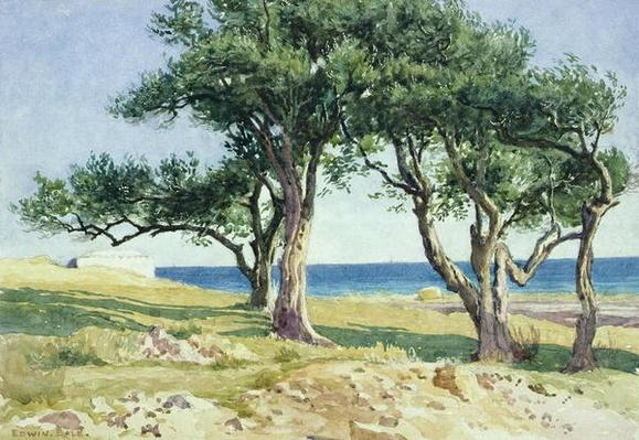 Old Olive Trees, Bordighera