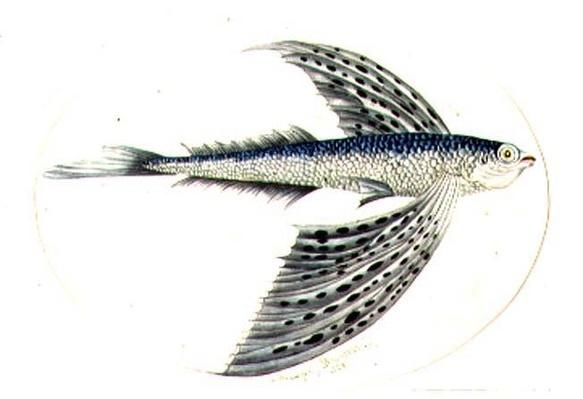 A Flying Fish