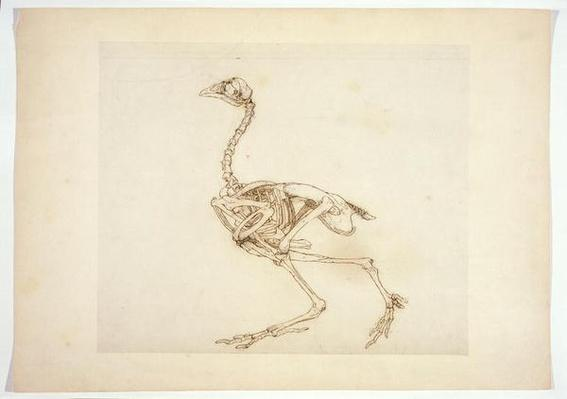 Dorking Hen Skeleton