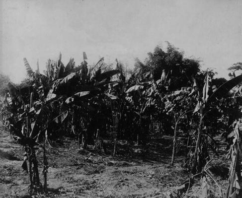 Banana Cultivation, Trinidad, c.1891