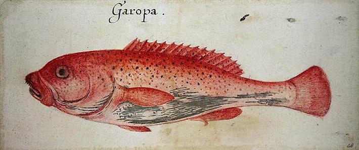 Garopa