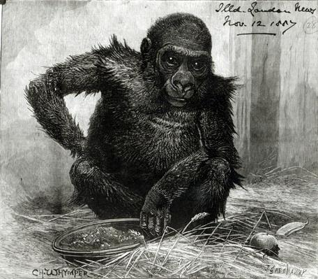 The Gorilla at the Zoological Society's Gardens, from the 'Illustrated London News', 12th November 1887