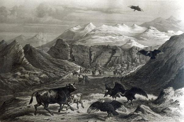 Calf being attacked by the Condors, from 'Historia de Chile'engraved by F.Lehnert, 1834