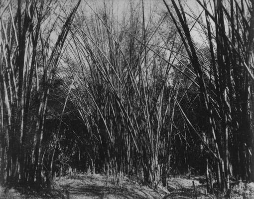 Bamboo Clump, Trinidad, c.1891