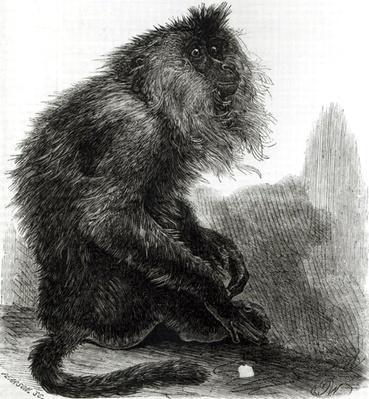 The Indian Waderoo Monkey