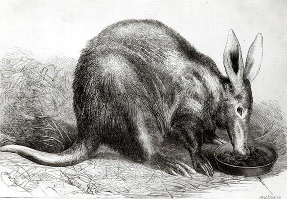 The Cape Ant-Eater at the Zoological Society's Gardens, Regents Park, from 'The Illustrated London News', engraved by Pearson,