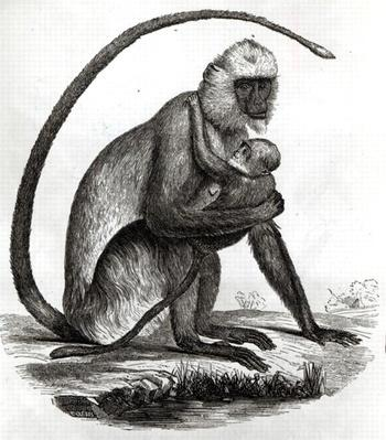 Brazilian Monkey