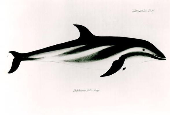 Dolphin, illustration from 'The Zoology of the Voyage of H.M.S Beagle, 1832-36,' by Charles Darwin