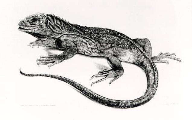 Reptile, illustration from 'The Zoology of the Voyage of H.M.S Beagle, 1832-36,'by Charles Darwin