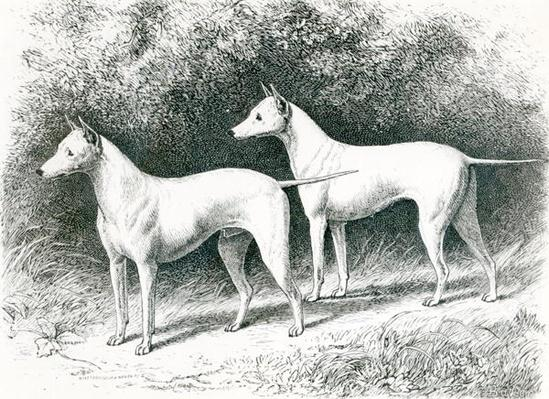 Mr. Vero Shaw's White English Terriers 'Sylvio' and 'Sylph'