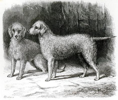 Bedlington Terriers- Mr. F. Armstrong's 'Rosebud' and Mr. A. Armstrong's 'Nailor'