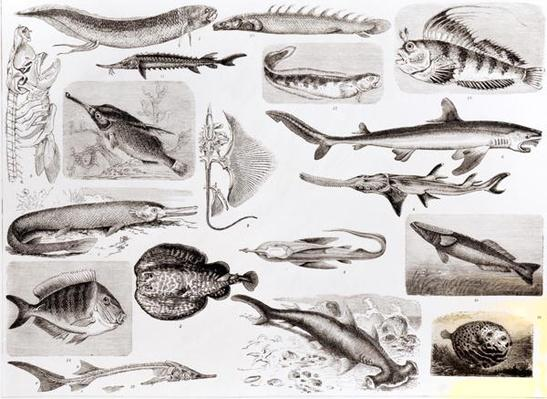 Ichthyology- Elasmobranch, Ganoid and Osseous Fishes
