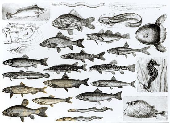 Ichthyology, Osseous Fishes, Marisipobranchs