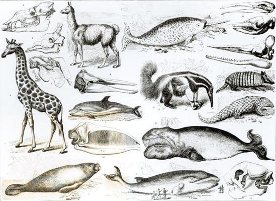 Cetacea Edentata
