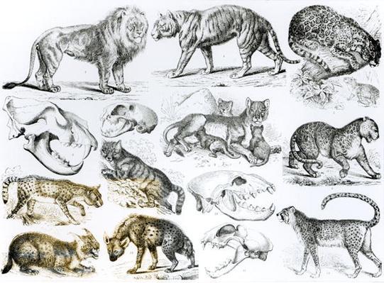 Carnivorous Animals