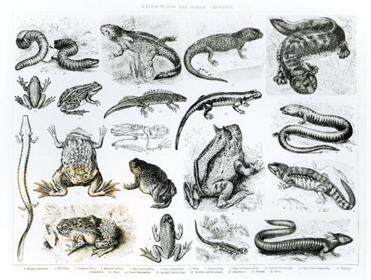 Batrachians and other Amphibia