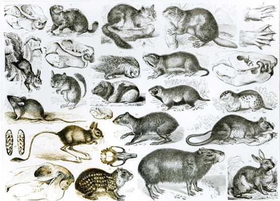 Rodentia-Rodents or Gnawing Animals