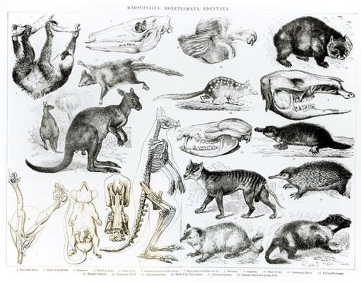 Marsupialia, Monetremata, Edentata
