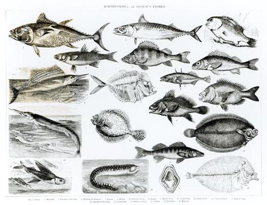 Ichthyology Osseous Fishes