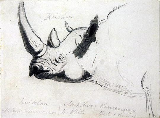 A Rhinoceros, head and shoulders, facing left