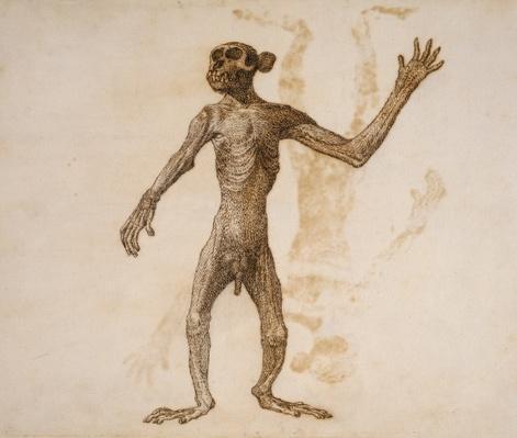 Monkey Standing, Anterior View
