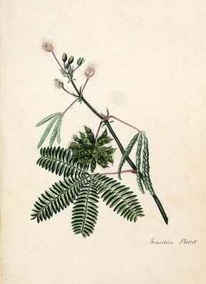 Sensitive Plant, illustration from an 'Album of Poems, Graphite Drawings & Watercolours', c.1828