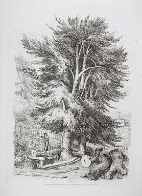 Beech no. 18, illustration from 'Progressive Lessons on Landscape for Young Beginners', 1816