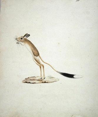Jerboa No. 4