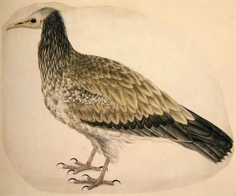 Egyptian Vulture, c.1736